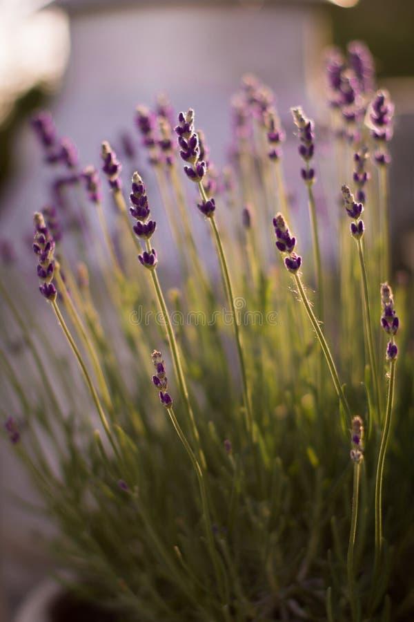 Planterade lavendellilor för slut upp royaltyfri fotografi