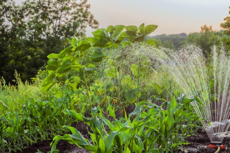 Planterar bevattning royaltyfri foto