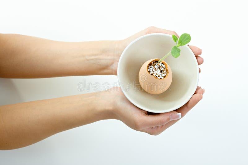 planterar gröna händer för kvinnlig mycket litet royaltyfria foton