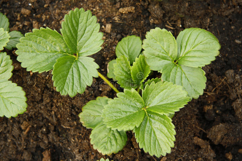 planterar jordgubben royaltyfri foto