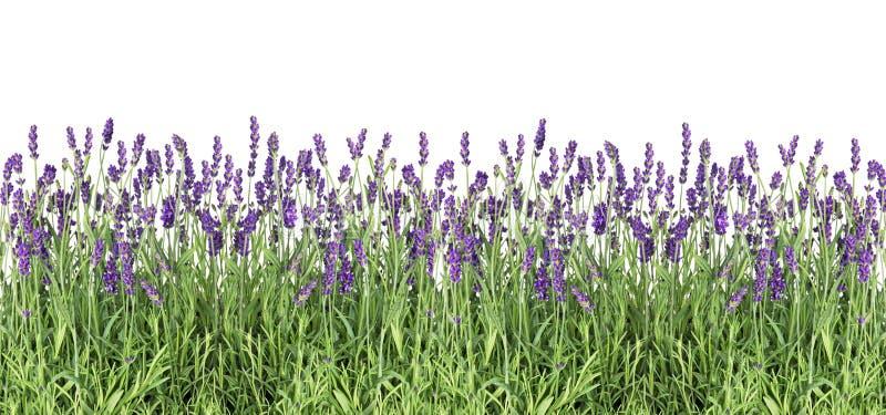 Planterar ny lavendel för lavendelblommor isolerad vit bakgrund royaltyfri foto