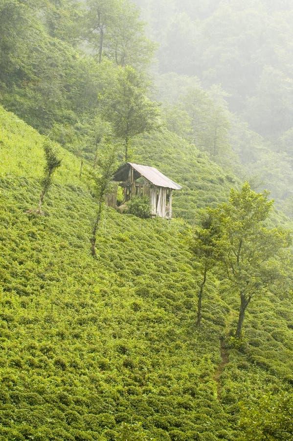 planterar tea arkivfoton