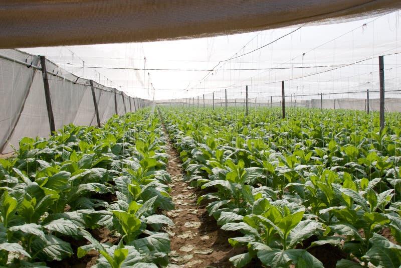 planterar tobak arkivfoto