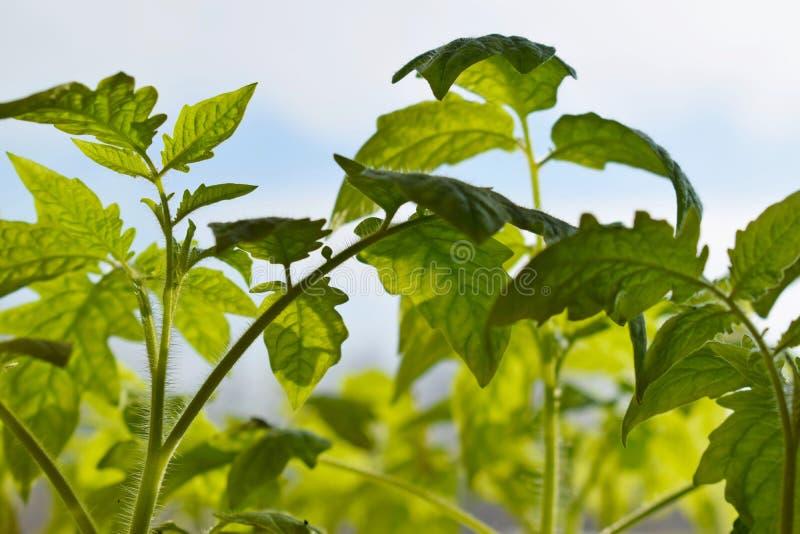 planterar tomatbarn royaltyfria bilder