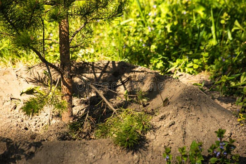 Planterat ungt barrträd bland gräsplanen arkivbild