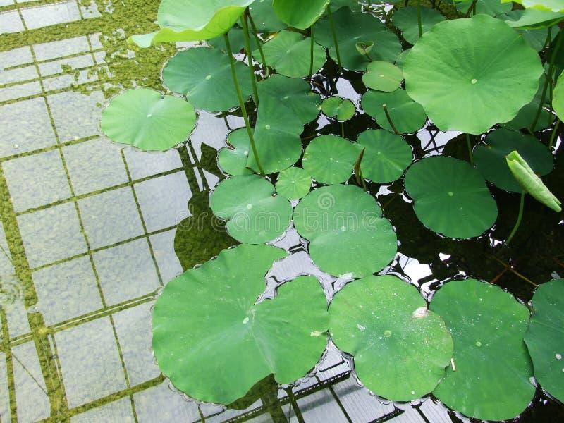Plantes aquatiques dans le jardin botanique photographie stock libre de droits