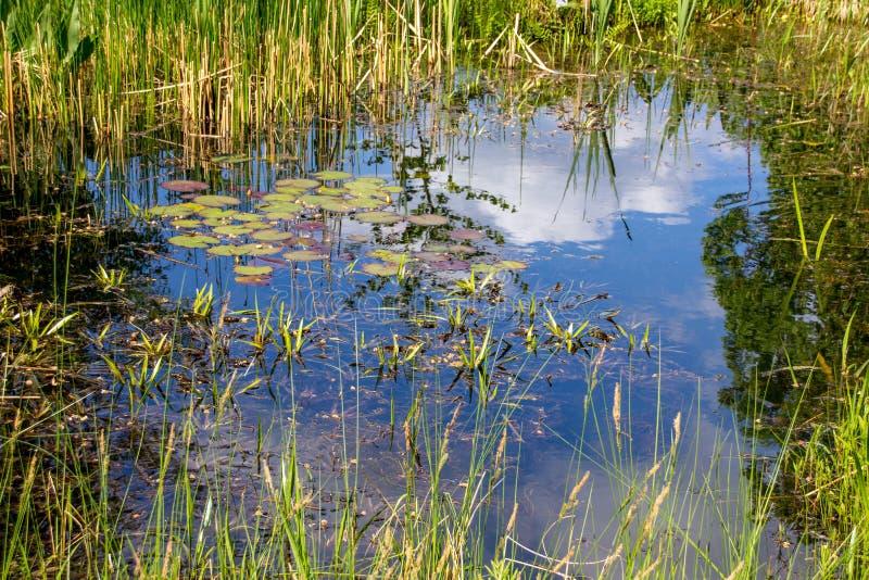 Plantes aquatiques de petit étang photo stock