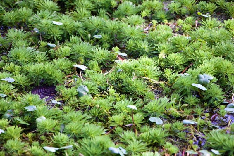 Plantes aquatiques sur le lac photos stock