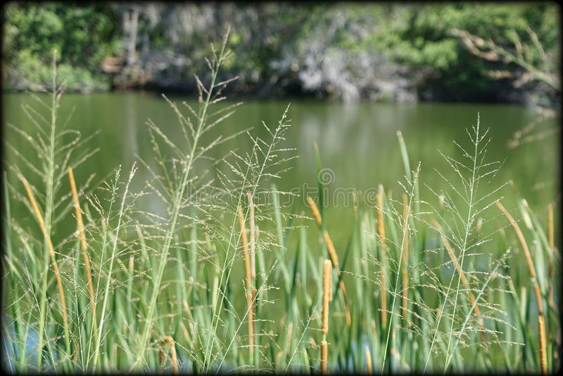 Plantes d'étang en Floride image libre de droits