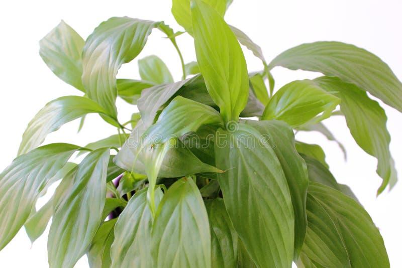 Plantes d'intérieur : grand plan vert de Spathiphyllum images libres de droits