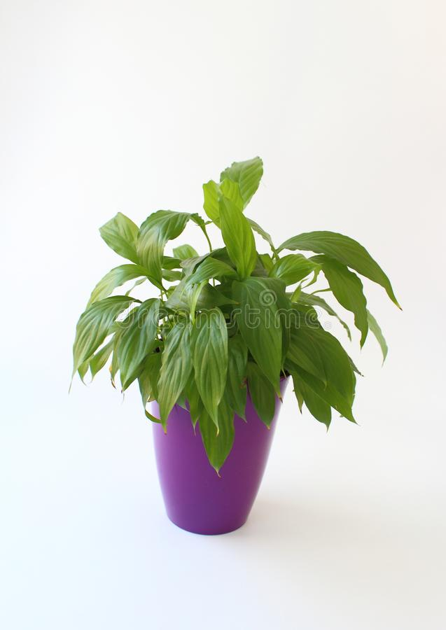 Plantes d'intérieur : Spathiphyllum vert dans le pot pourpre photos stock