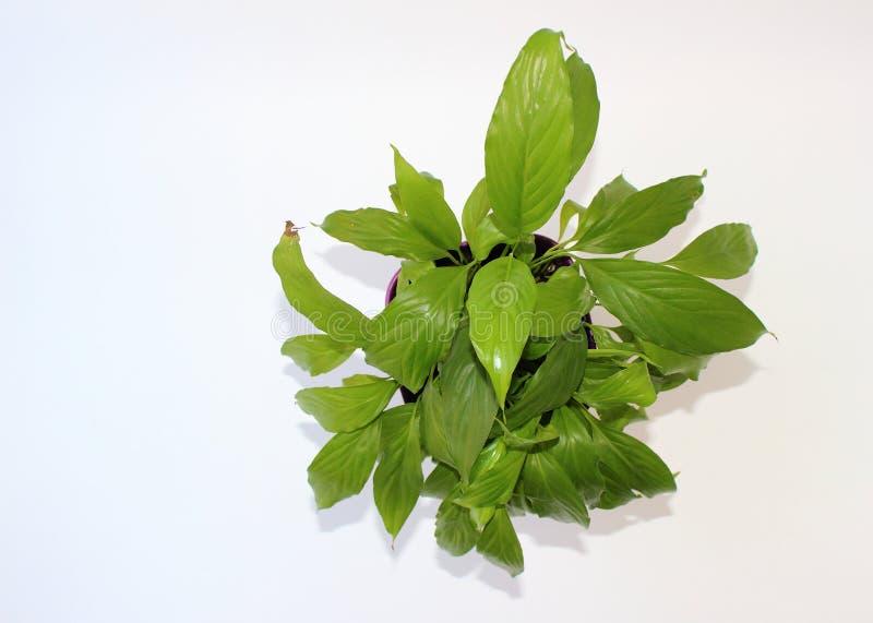 Plantes d'intérieur : Spathiphyllum vert la vue à partir du dessus photographie stock libre de droits