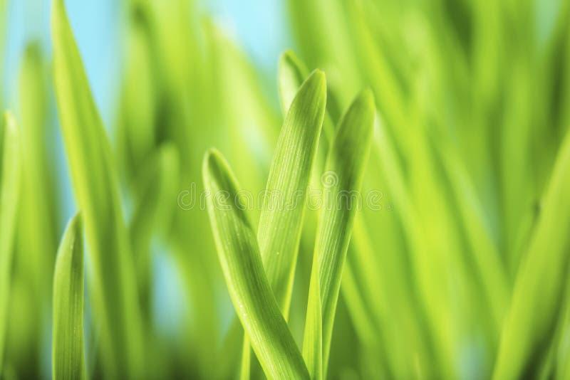 Plantes d'orge photo stock