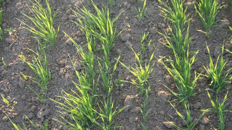 Plantes de blé photo stock