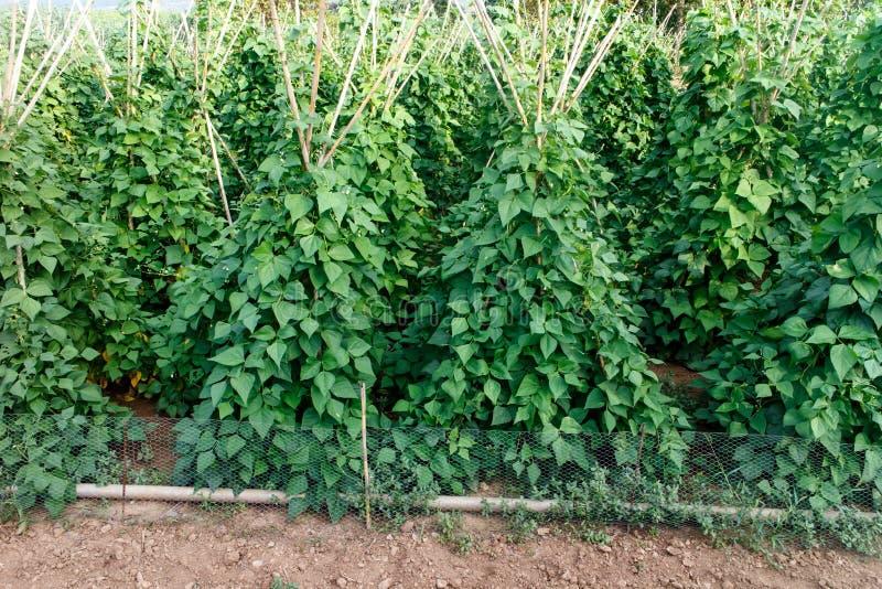 Plantes de haricot de jardin photo stock image 45352110 - Planter des haricots nains ...