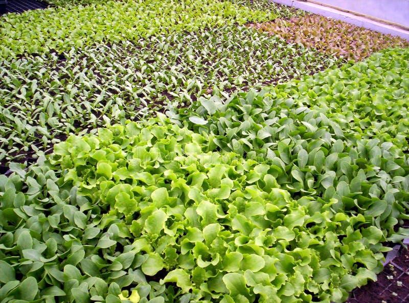 Plantes de laitue image libre de droits