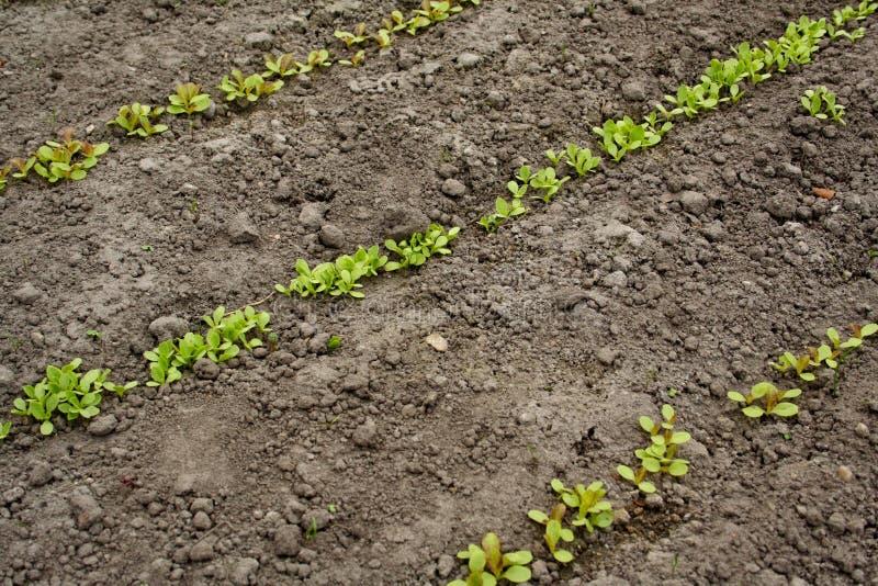 Plantes de laitue dans les lignes photos stock