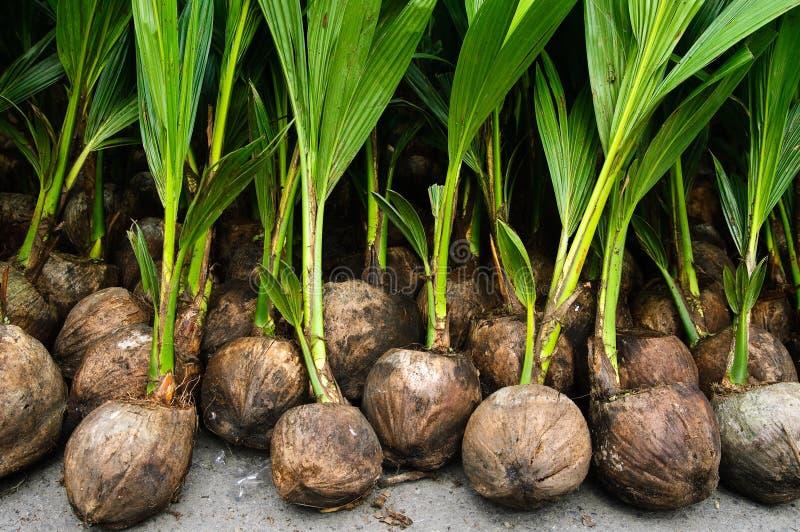 planter une noix de coco