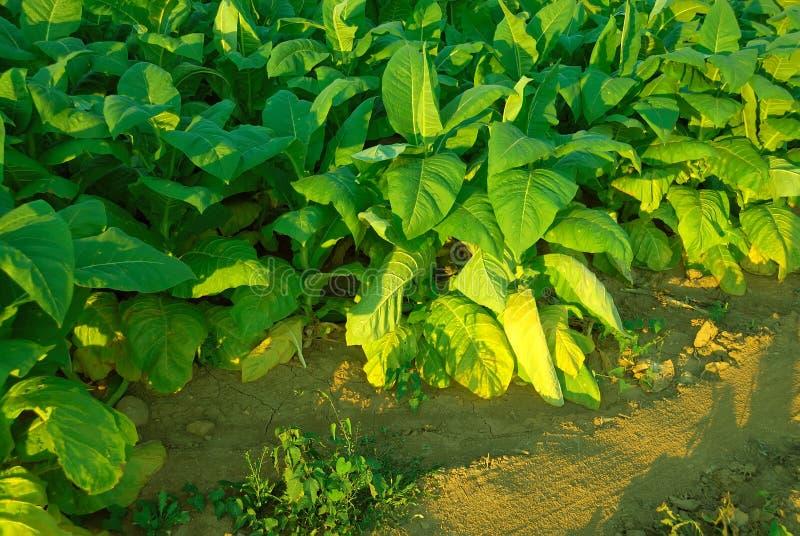Plantes de tabac images stock