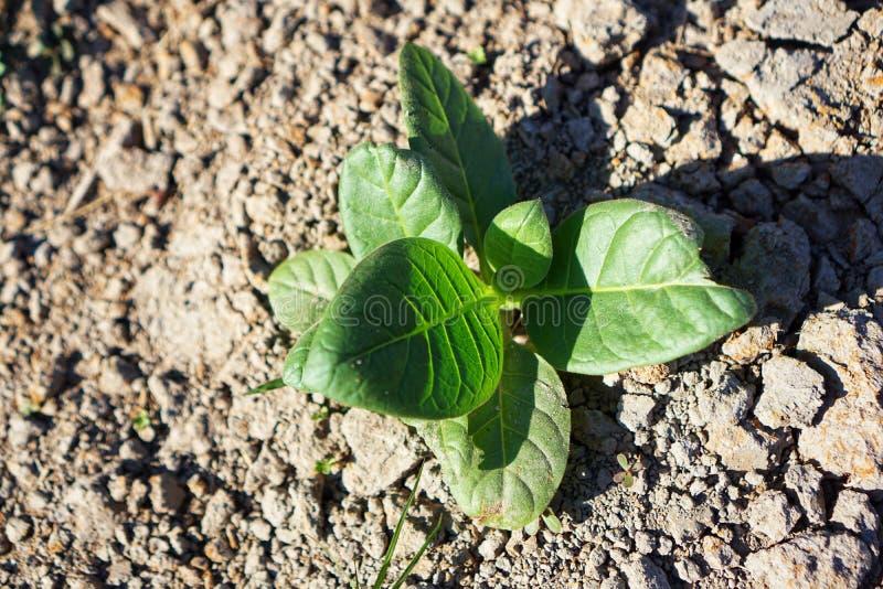 Plantes de tabac sur la terre sèche images libres de droits