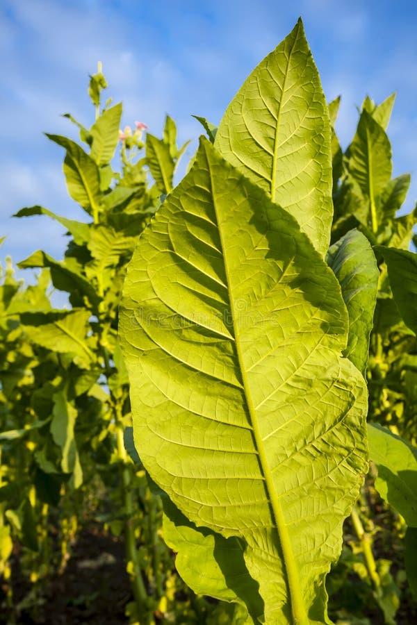 Plantes de tabac vertes avec de grandes feuilles et fleurs for Grandes plantes vertes
