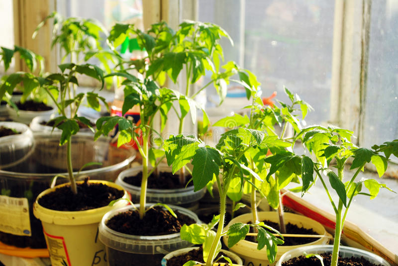 Plantes de tomate photos libres de droits