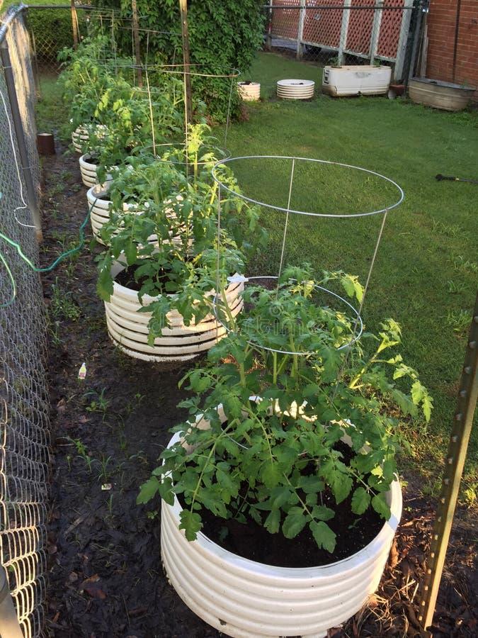 Plantes de tomate croissantes image stock
