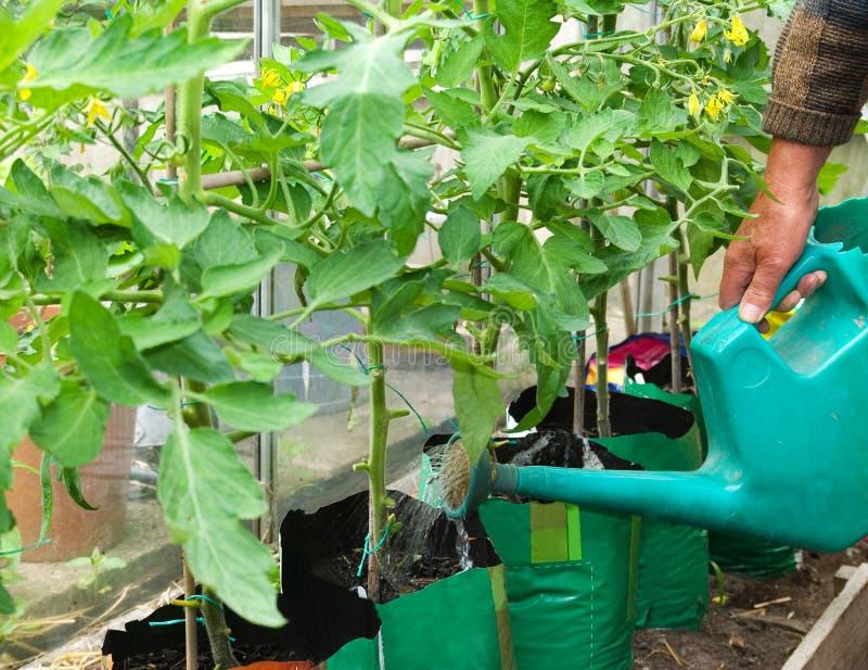 Plantes de tomate de arrosage image libre de droits