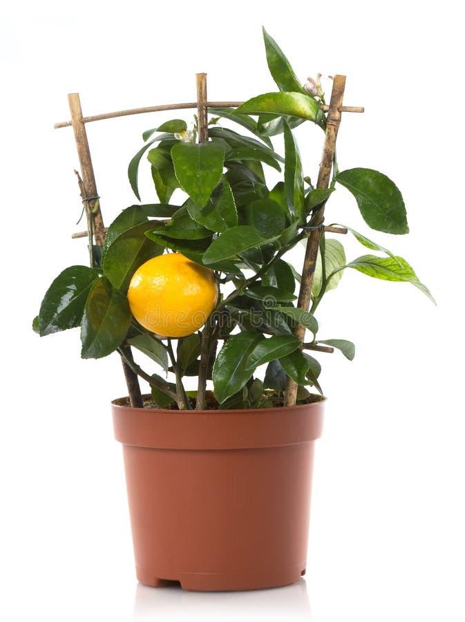Plantes en pot de centrale de citron de citron image libre de droits