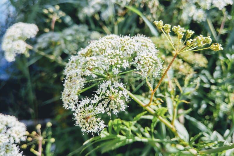 Plantes et fleurs de champ utilisées pour des buts médicaux image stock