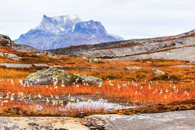 Plantes et fleurs greenlandic de toundra d'automne avec Sermitsiaq m photo stock
