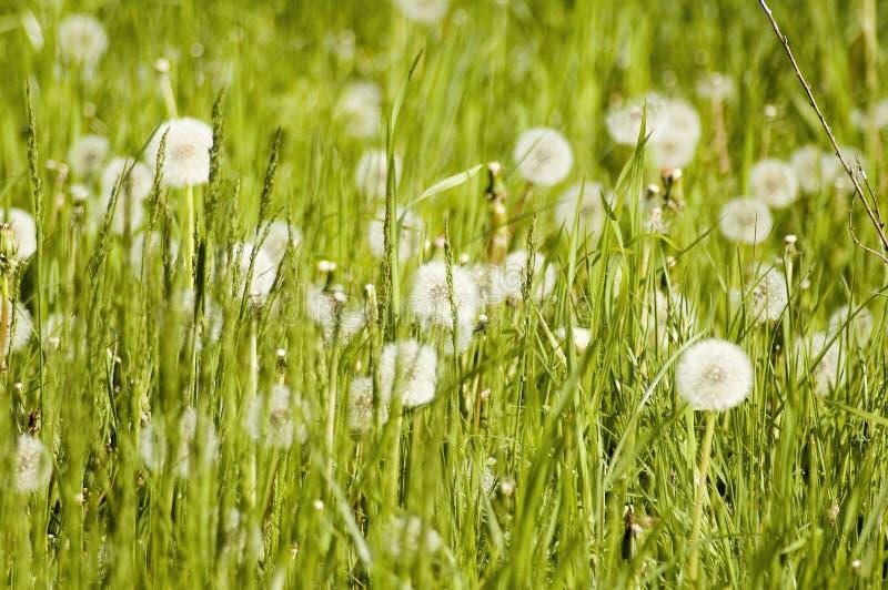 Download Plantes Et Pissenlits De Pré Photo stock - Image du croissance, herbeux: 732716