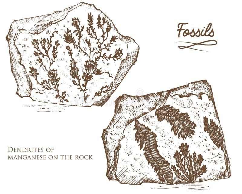 Plantes fossilisées, pierres et minerais, cristaux, animaux préhistoriques, archéologie ou paléontologie fossiles de fragment illustration stock
