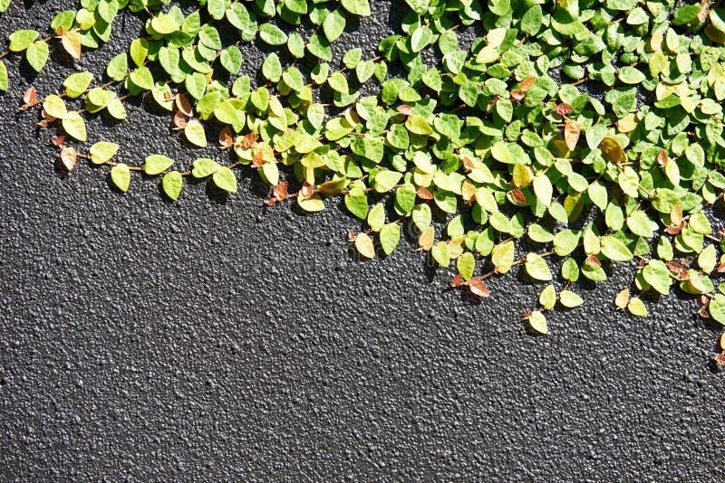 Plantes grimpantes décoratives sur un mur texturisé gris photo libre de droits
