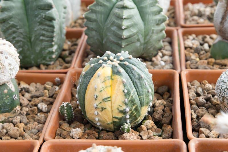 Plantes tropicales de cactus photographie stock