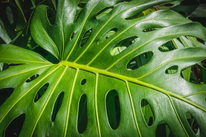 Plantes tropicales, feuille des feuilles de Monstera /Philodendron images libres de droits