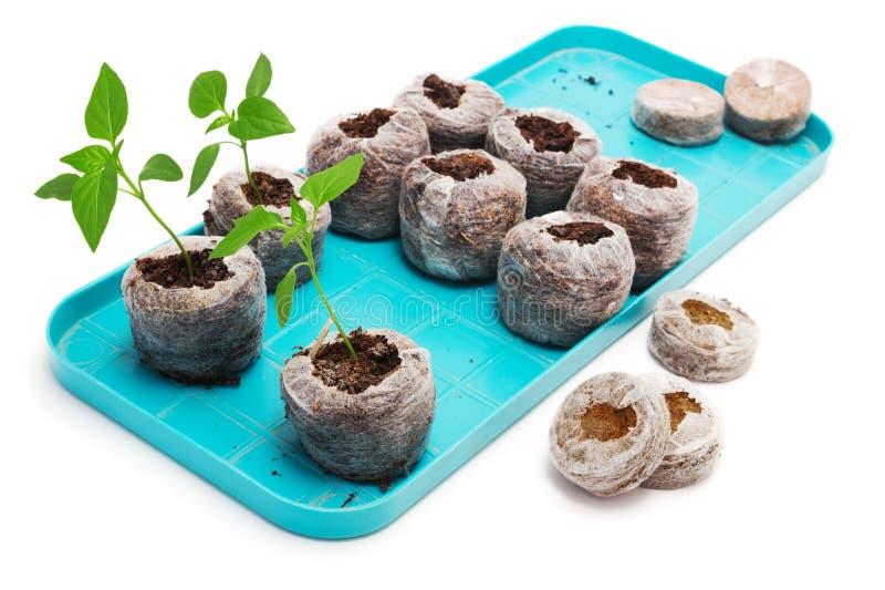 Plantes végétales de jeune plante cultivées dans le comprimé de tourbe sur une palette photographie stock libre de droits