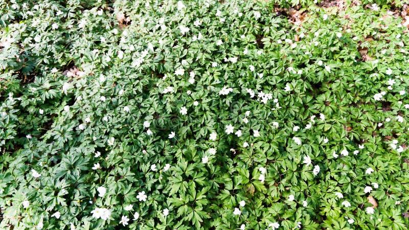 Plantes vertes avec les fleurs blanches images stock