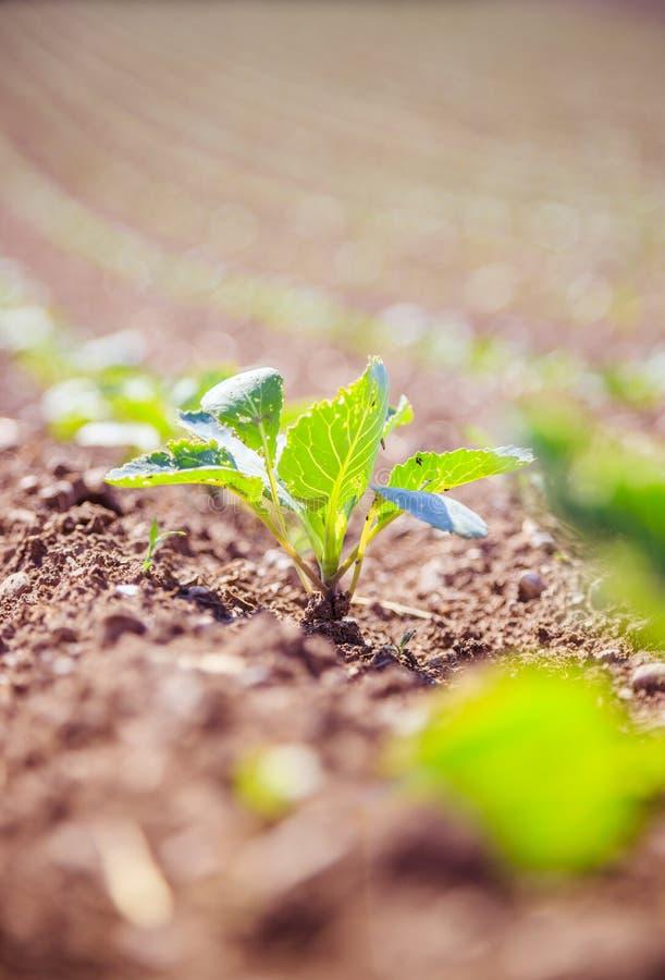 Plantes vertes fraîches sur un champ d'agriculture image libre de droits