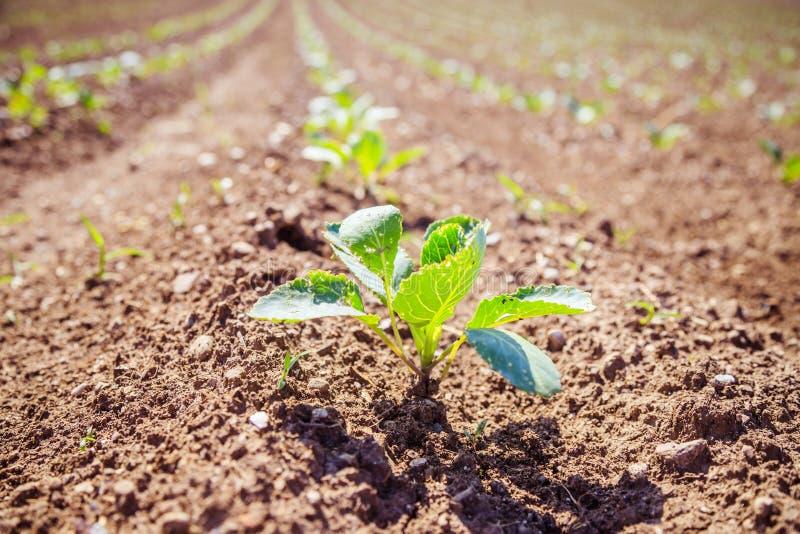 Plantes vertes fraîches sur un champ d'agriculture photographie stock