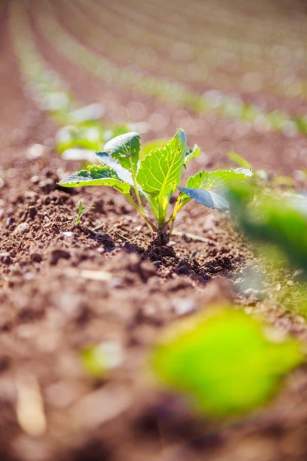 Plantes vertes fraîches sur un champ d'agriculture photo libre de droits