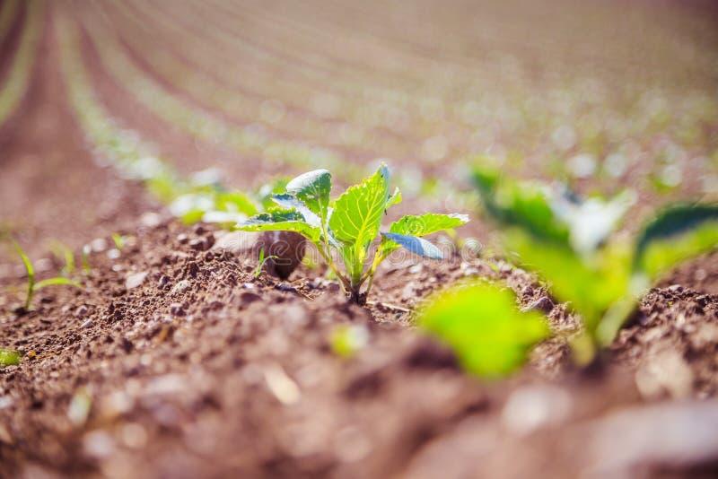 Plantes vertes fraîches sur un champ d'agriculture images libres de droits