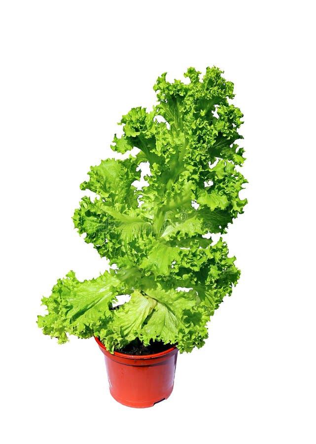 Plantez la salade végétale avec les feuilles ondulées dans l'isola de pot de jardin photo stock