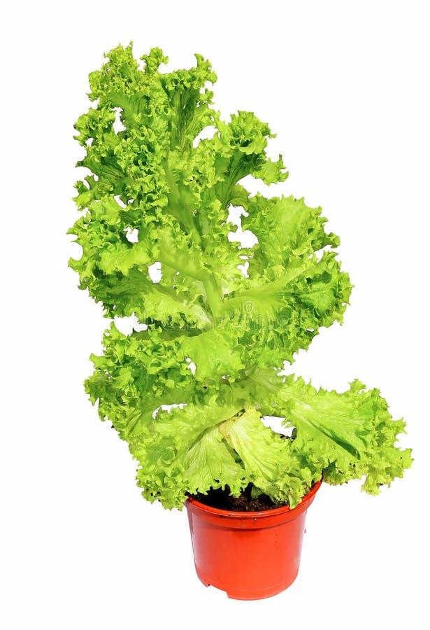 Plantez la salade végétale avec les feuilles ondulées dans l'isola de pot de jardin images libres de droits