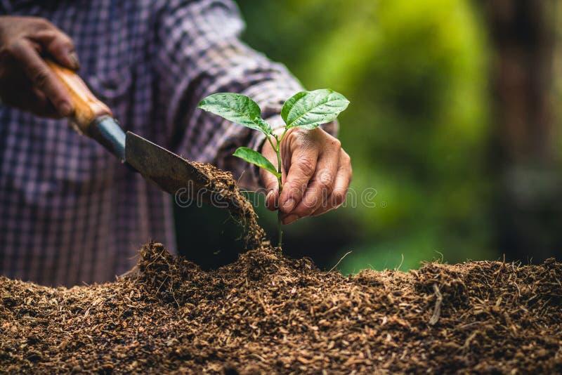 Plantez les jeunes plantes fortes d'une passiflore comestible de passiflore d'arbre, plantant le jeune arbre par l'expert sur le  image stock