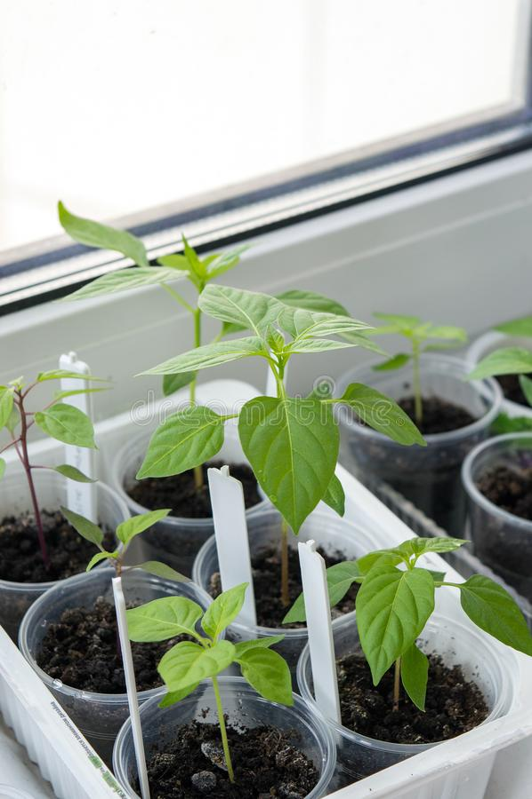 Plantgoed van de jonge boompjes van de Spaanse peperpeper stock foto
