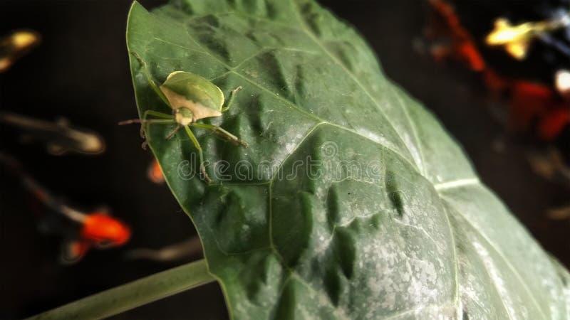 Planthopper immagine stock