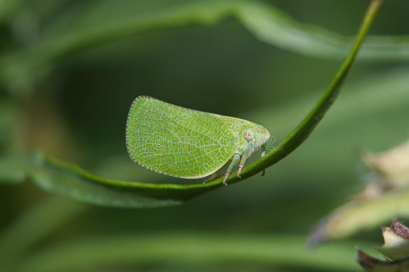 Download Planthopper stock image. Image of leaf, acanaloniidae - 9380665
