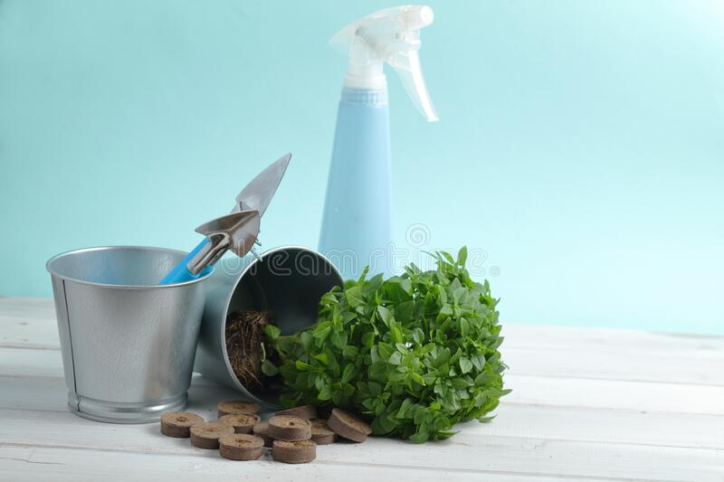 Planting basil in a kitchen garden royalty free stock photography