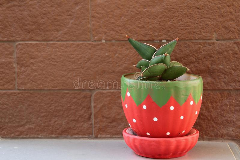 Planting cactus in pots. stock photography